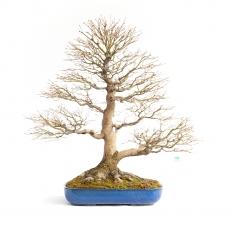 Acer palmatum Viridis - maple - 98 cm
