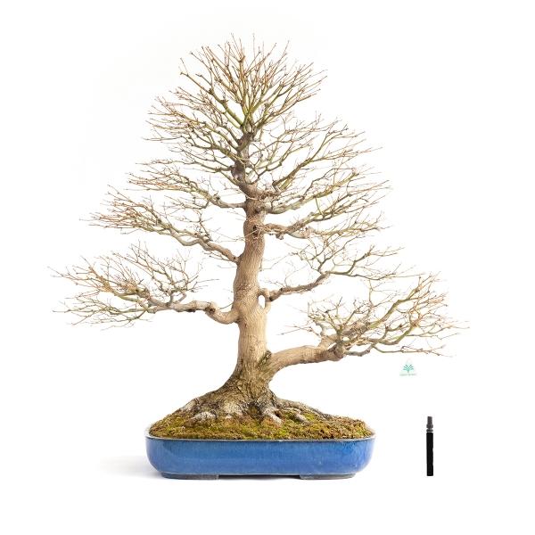 Acer palmatum viridis - acero - 98 cm