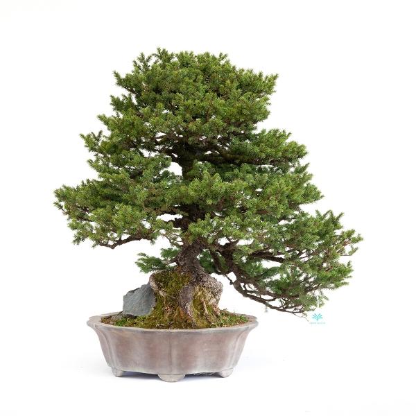 Picea abies - Abete - 77 cm