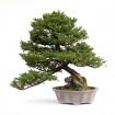 Picea abies - Spruce - 77 cm