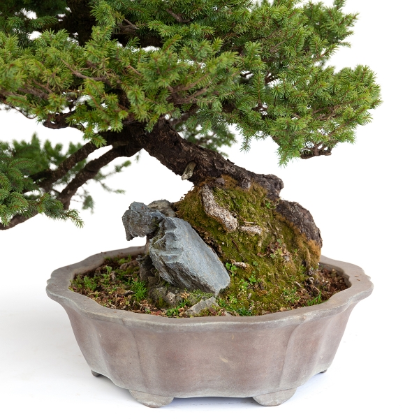 Picea abies - Épicéa - 77 cm