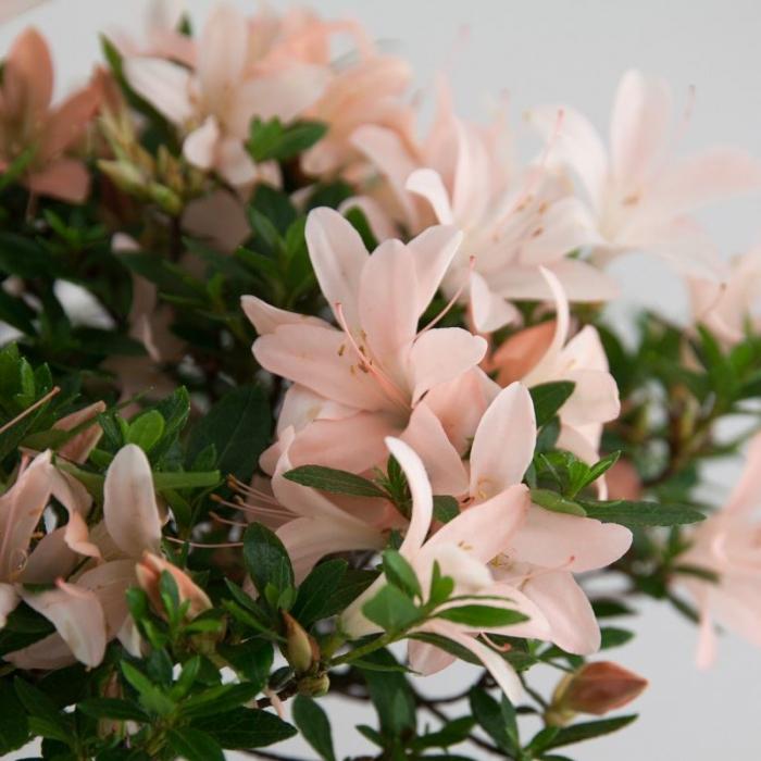 Azalea - 65 cm