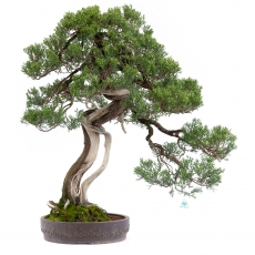 Juniperus chinensis - Juniper - 100 cm