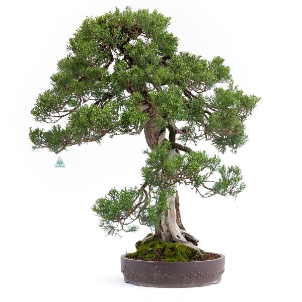 Juniperus chinensis - ginepro - 100 cm