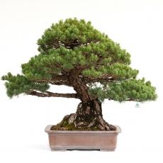Pinus pentaphylla miyajima - Pino - 83 cm