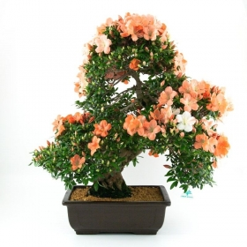 Azalea - 73 cm