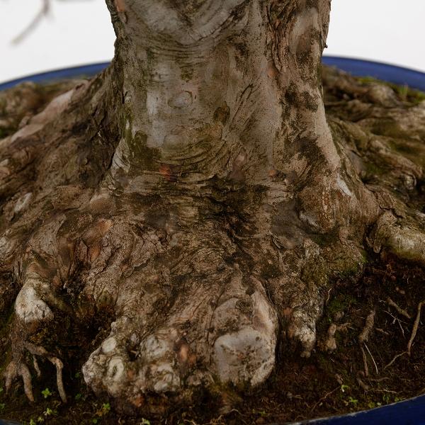Acer buergerianum - acero - 90 cm