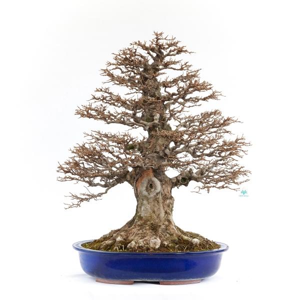 Acer buergerianum - érable - 90 cm
