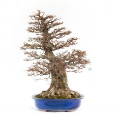 Acer buergerianum - maple - 90 cm