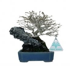Premna japonica - 18 cm