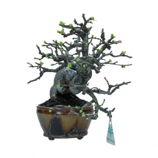 Pseudocydonia Karin Quince - 48 cm