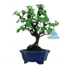 Viburnum dilatatum - 25 cm