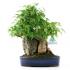 Acer buergerianum - acero - 27 cm