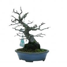 Celtis sinensis - Chinese hackberry - 19 cm