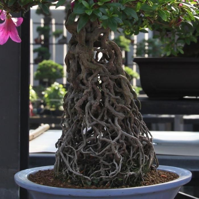 Azalea Satsuki 14