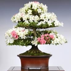 copy of Corso Modellatura e coltivazione dei bonsai di Azalea - Sabato 19 maggio