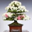 Corso bonsai Azalea - Sabato 25 maggio