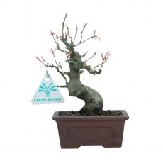 Acer palmatum Viridis - maple - 19 cm