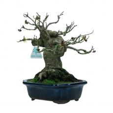 Hamamelis japonica - 22 cm