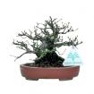 Ulmus parvifolia - 15 cm