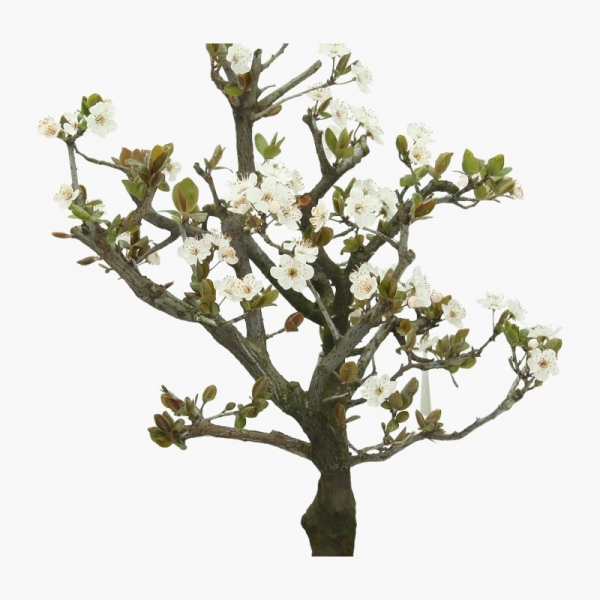 Prunus spinosa - Prugnolo selvatico - 43 cm