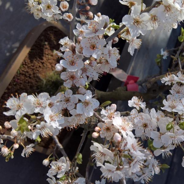 Prunus spinosa - 43 cm