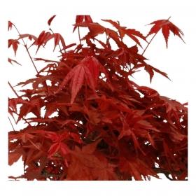 Acer palmatum - acero - 21 cm