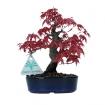 Acer palmatum - maple - 18 cm