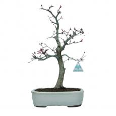 Acer palmatum Deshojo - érable - 40 cm