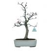 Acer palmatum Deshojo - maple - 40 cm