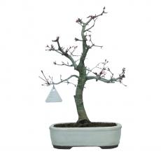 Acer palmatum Deshojo - acero - 40 cm