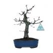 Acer palmatum Deshojo - érable - 25 cm