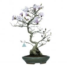 Magnolia - 65 cm