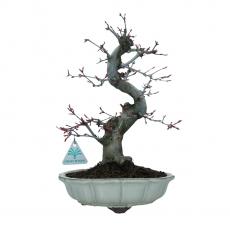 Acer palmatum Deshojo - érable - 34 cm