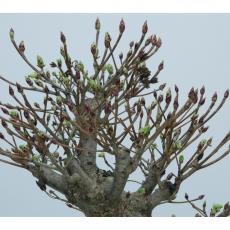 Enkianthus perulatus - 40 cm