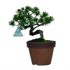 Pinus pentaphylla - Pin à cinq aiguilles - 25 cm