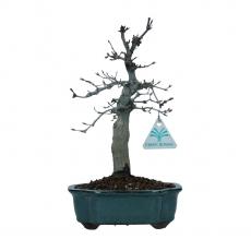 Acer palmatum Deshojo - maple - 28 cm