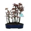 Acer palmatum Katsura - érable - 22 cm