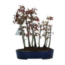 Acer palmatum Katsura - acero - 22 cm