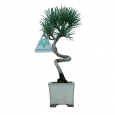 Pinus pentaphylla - Pino - 22 cm