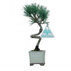 Pinus pentaphylla - Pine five needles - 22 cm