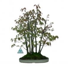 Acer palmatum - érable - 42 cm