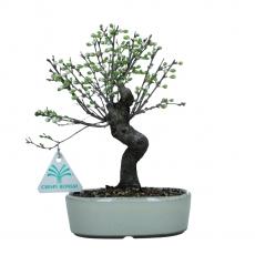 Prunus - Ciliegio cinese - 22 cm