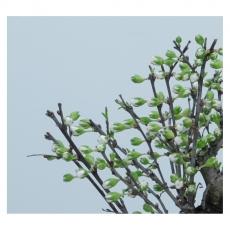 Prunus - Cerisier chinoise - 22 cm