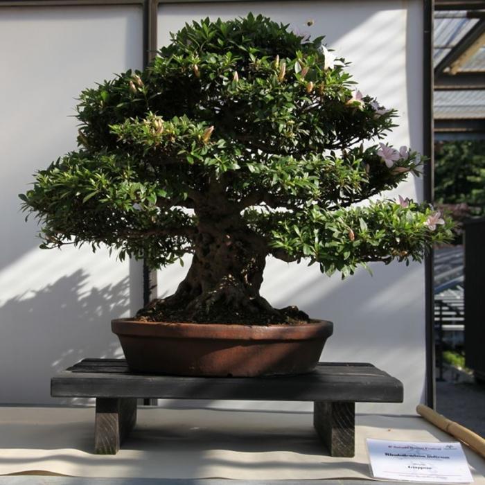 Azalea Satsuki 33