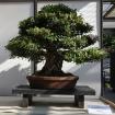 Azalea Satsuki 33 - 53 cm