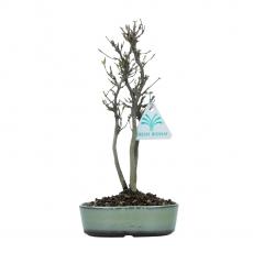 Acer buergerianum - maple - 24 cm