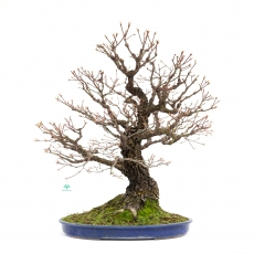 Acer palmatum arakawa - acero - 82 cm