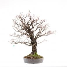 Acer palmatum arakawa - maple - 78 cm