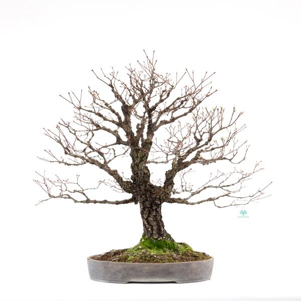 Acer palmatum arakawa - acero - 78 cm